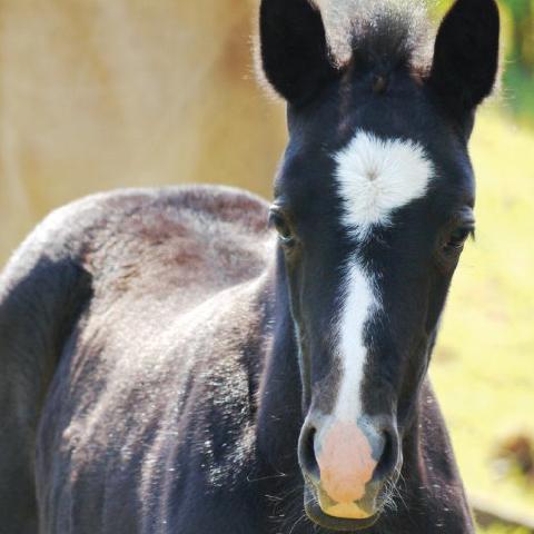 Student of the Horse - Foals - Dudmaston Harper