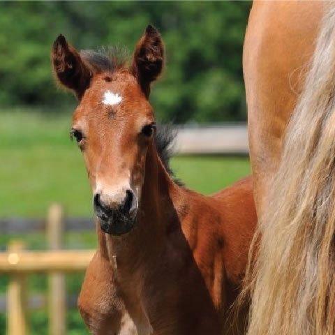 Student of the Horse - Foals - Dudmaston Ravel