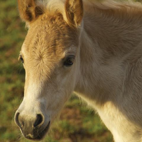 Student of the Horse - Foals - Dudmaston Schemetterling